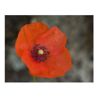 Red Poppy Postcard