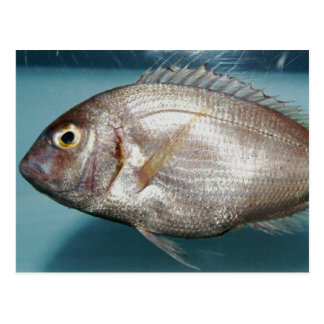 Red Porgy Postcard