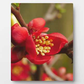 Red Quince Flowers Plaque