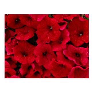 Red Rain Drop Petunias Postcard
