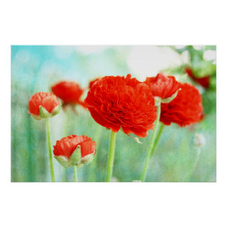 Red Ranunculus Flowers Poster