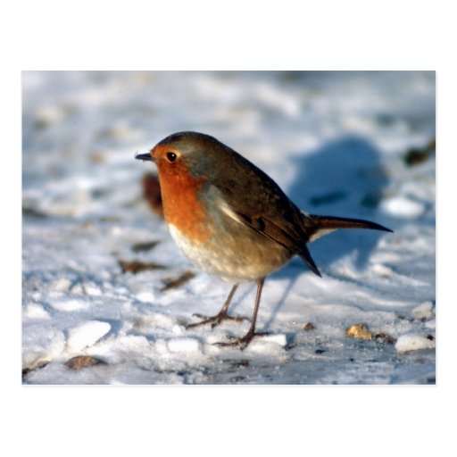 Red Robin in the snow Postcard
