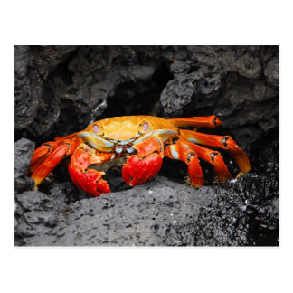 Red rock crab (Grapsus grapsus) Postcard