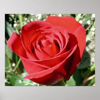 Red Rose Close Print