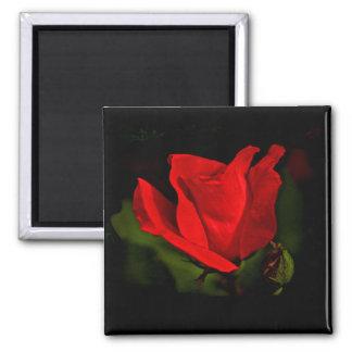 Red Rose - Dark Passion Square Magnet