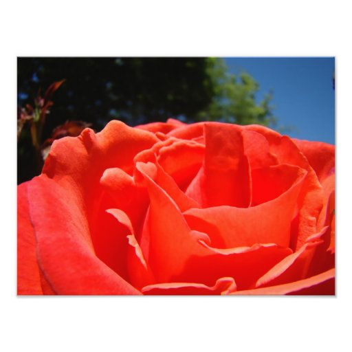 Red Rose Flower Floral Photography art prints Photo Art