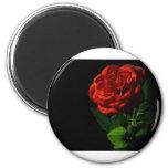 red-rose-macro-still-image-studio-photo fridge magnet