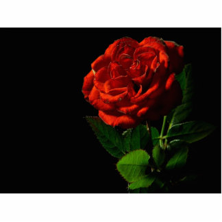 Red Rose Macro Still Image Studio Photo Cut Outs