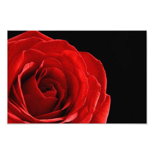 red rose photograph print