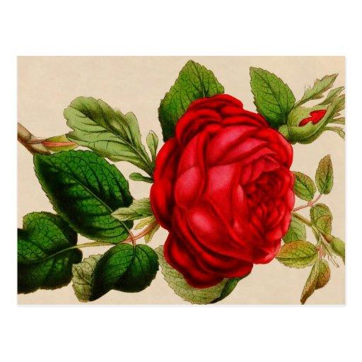 Red Rose Postcards