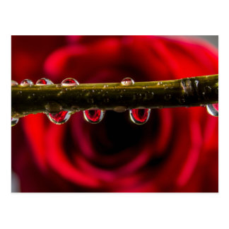 Red Rose Reflected in Water Drops Postcard