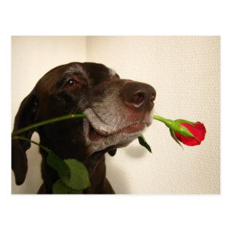 red rose valentine s pointer postcard