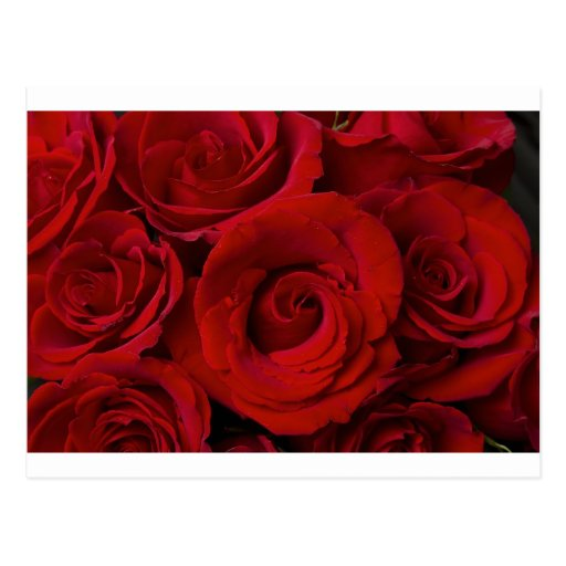 Red Roses and Water Drops Postcard