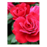 Red roses postcards