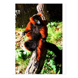 Red Ruffed Lemur Postcard