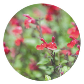 Red Salvia Plates