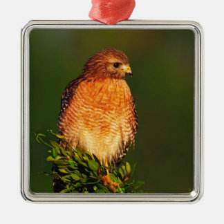 Red-shouldered Hawk (Buteo lineatus) in early Christmas Ornament