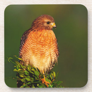 Red-shouldered Hawk (Buteo lineatus) in early Drink Coaster