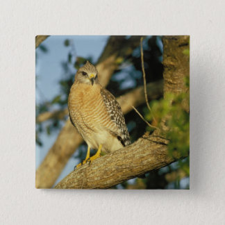 red-shouldered hawk, Buteo lineatus, sits on 15 Cm Square Badge