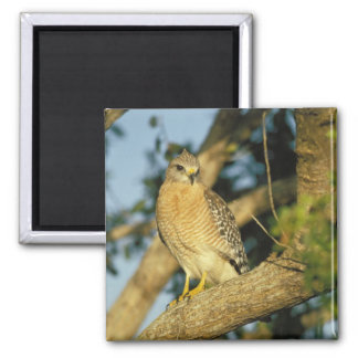 red-shouldered hawk, Buteo lineatus, sits on Magnet