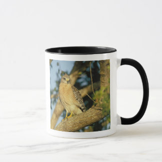 red-shouldered hawk, Buteo lineatus, sits on Mug