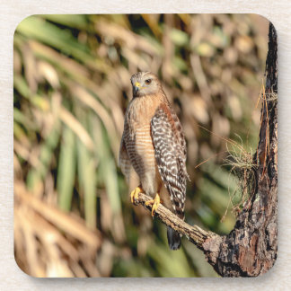 Red Shouldered Hawk in a tree Drink Coaster