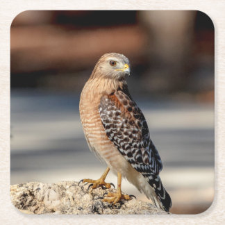Red Shouldered Hawk on a rock Square Paper Coaster