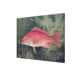 Red Snapper, from 'Game Fishes of the United State Canvas Print