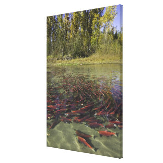 Red Sockeye salmon milling in calm eddy and Gallery Wrapped Canvas