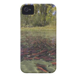 Red Sockeye salmon milling in calm eddy and iPhone 4 Cover