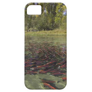 Red Sockeye salmon milling in calm eddy and iPhone 5 Cases
