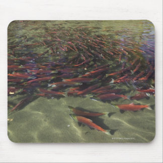 Red Sockeye salmon milling in calm eddy and Mouse Mat