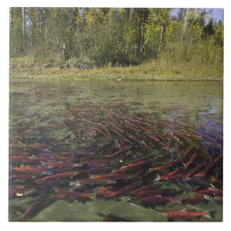 Red Sockeye salmon milling in calm eddy and Tile