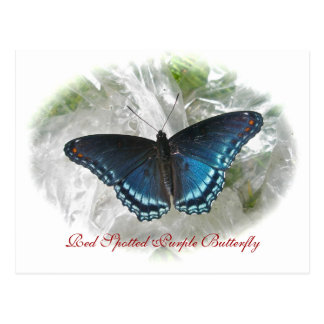 Red Spotted Purple Butterfly Series Postcard