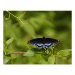 Red Spotted Purple Posters