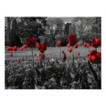Red Spring Tulips Poster