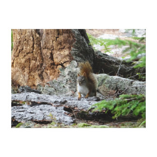 Red Squirrel Stretched Canvas Prints