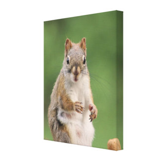 Red squirrel canvas print. stretched canvas prints
