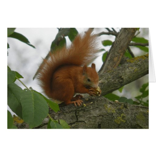 Red Squirrel Cards