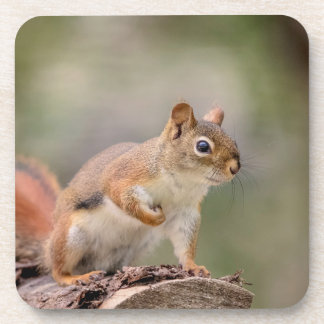 Red Squirrel Drink Coaster