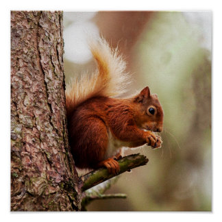 Red Squirrel Feeding Poster/Print Poster