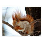 Red Squirrel in Winter Fur Postcard