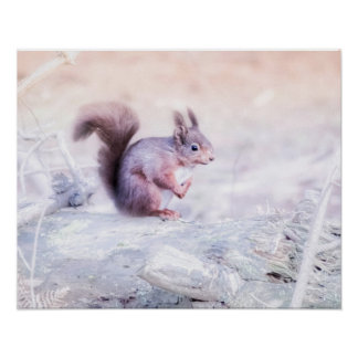 Red Squirrel picture Poster