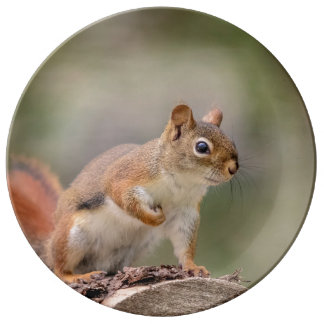Red Squirrel Plate