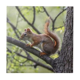 Red Squirrel Ceramic Tiles