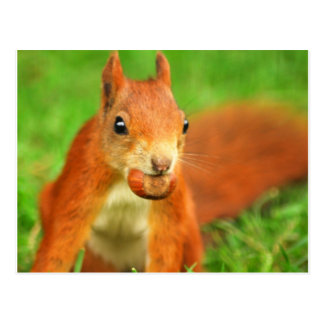 Red Squirrel with a nut Postcard