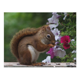 Red Squirrel with Petunias Postcard