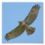 red-tail soaring posters