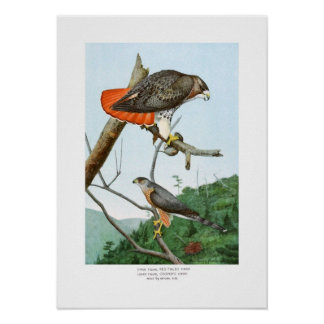 Red-tailed and Cooper's Hawks Poster