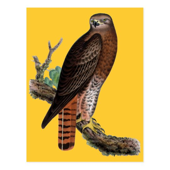 Red-tailed Black Hawk Postcard